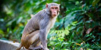 coronavirus-india-scimmie-sangue