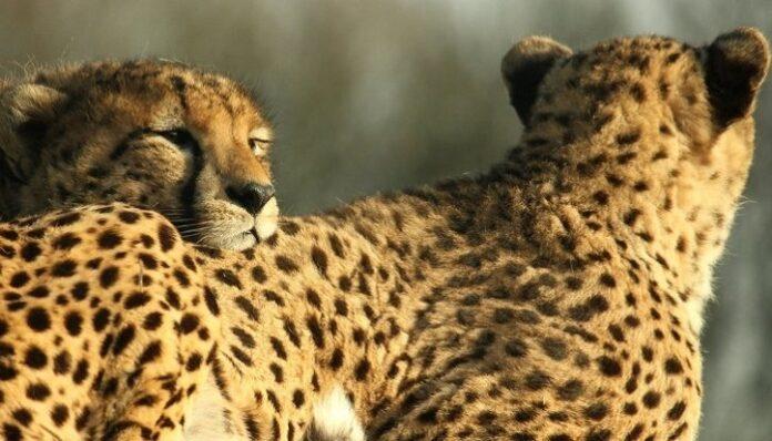 leopardo-sahariano-algeria-coronavirus