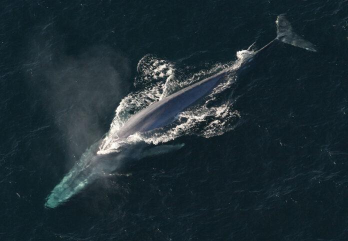 balene, balenottera