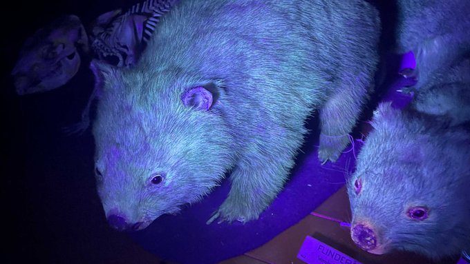 vombati, wombat