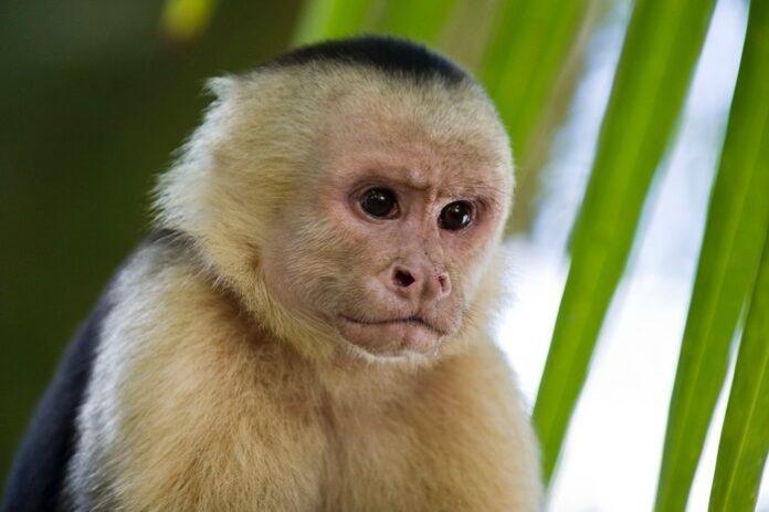 scimmia cappuccino longevità cervello