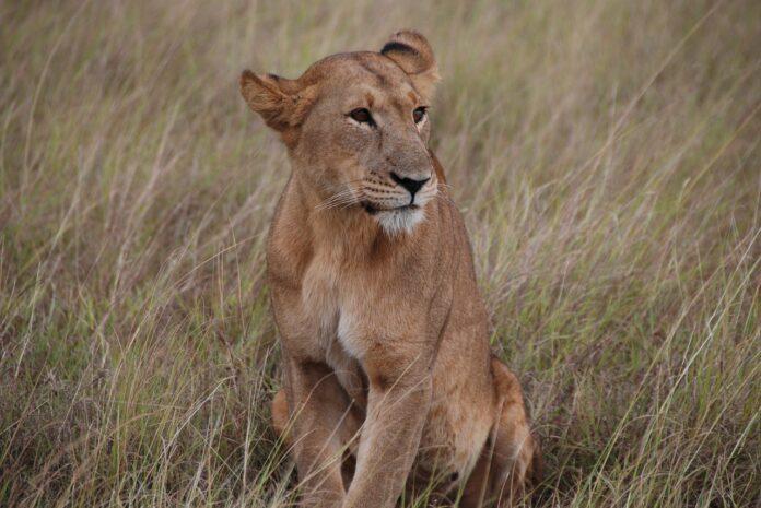 fossile di leonessa, leoni, pianura padana