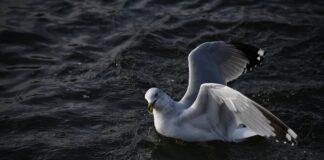 pomice uccelli marini