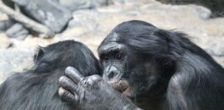 bonobo estinzione empatia