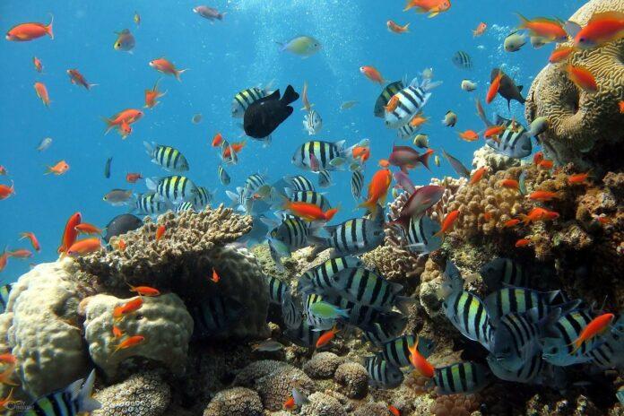 coralli-feci