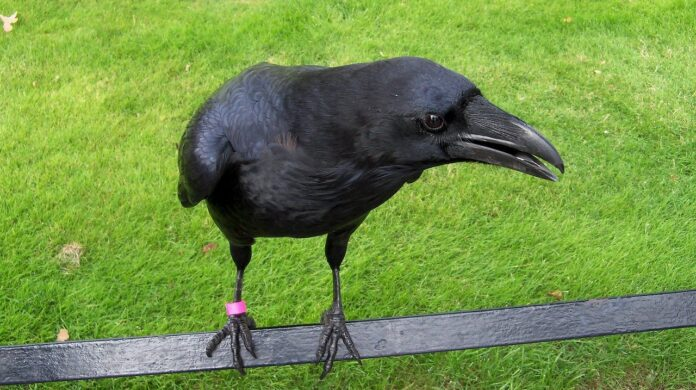corvo-torre-londra