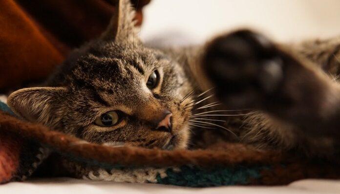 covid-19-animali-gatto-contagiato-morto