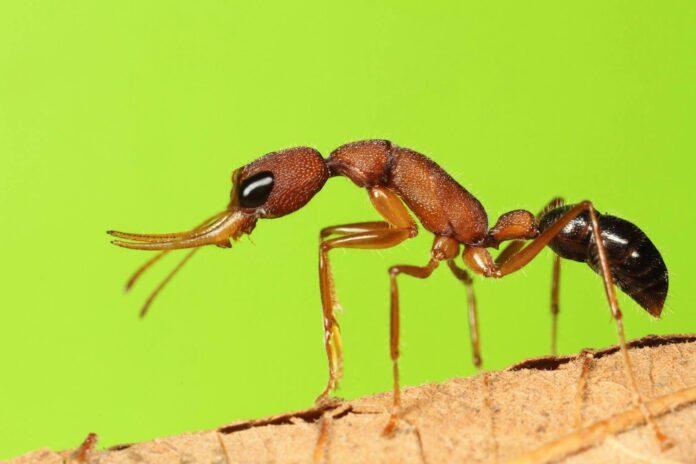 formiche saltatrici