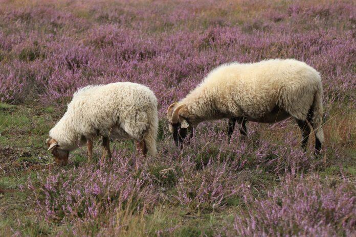pecore maschio remissivo