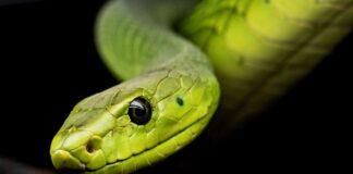 orecchie serpenti