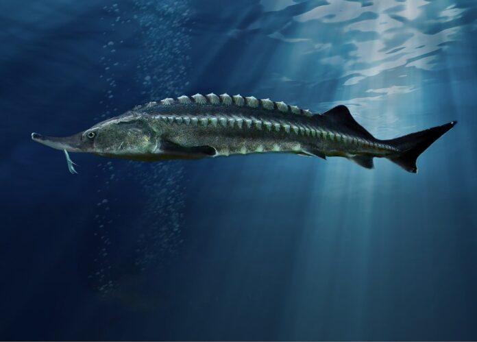 storione beluga, pesce più grande