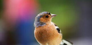 uccelli-canterini