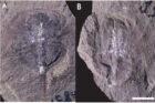 cervello fossile, chelicerati, artropodi