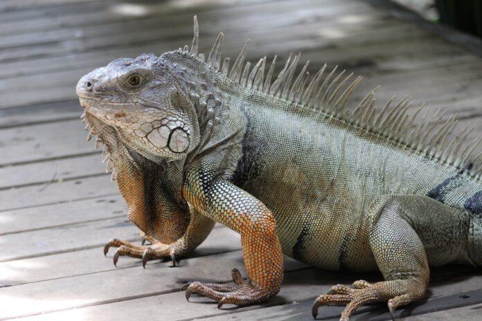 iguana-yacht