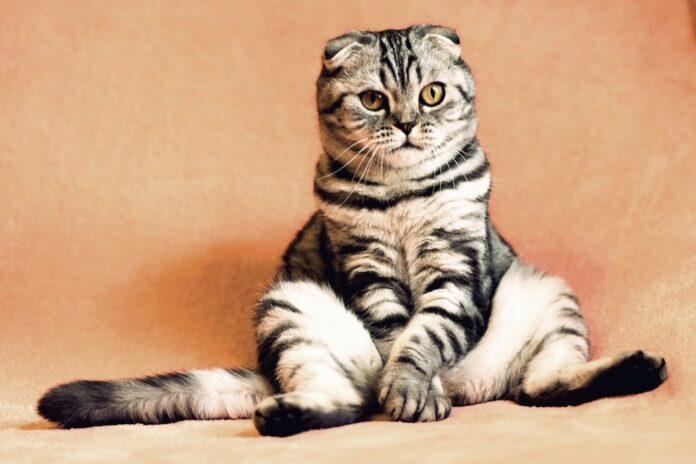 gatto strisce genetica