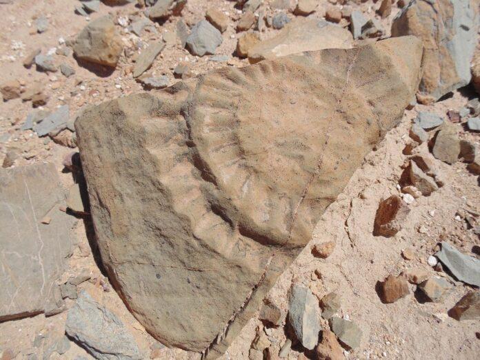 fossile, lucertola, atacama, chile