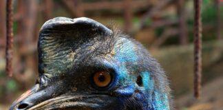 uccello pericoloso, preistoria, esseri umani, allevamento