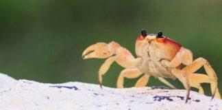 granchi-evoluzione-specie-nuovi